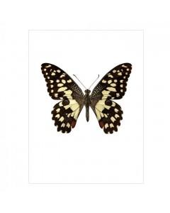 Liljebergs Plakat 30x40, Papilio Demoleus